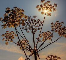 Sunlight through plant seedhead by Hugh McKean