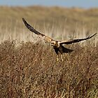 Marsh harrier by Trevsnature