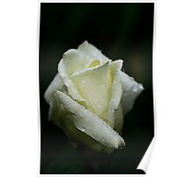 Ivory Rose With Waterdrops Poster