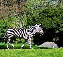 Woodland Zebra by Danielle Morin
