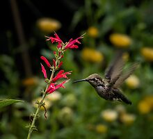Anna's hummingbird and penstemon by Celeste Mookherjee
