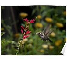 Anna's hummingbird and penstemon Poster
