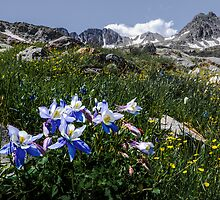 Colorado Columbines by Aaron Spong