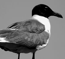 Seagull in B&W by ctheworld