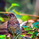 Russet Tailed Thrush... by tracielouise
