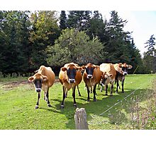 Curious cows Photographic Print