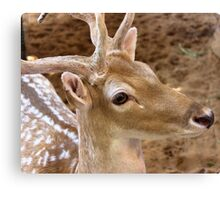 Gazelle Canvas Print