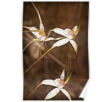 Tangled spider orchids Poster
