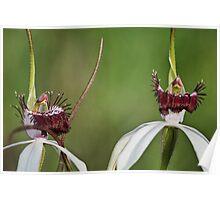 Hybrid Spider Orchids Poster