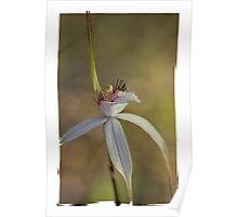 caladenia splendens, Poster