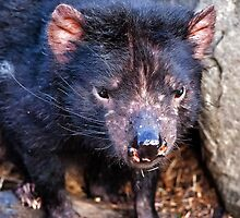 Tasmanian Devil by Paul Amyes
