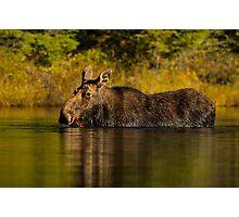 Feeding Moose Photographic Print