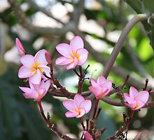 Pink Frangipanis by Wendy Sinclair