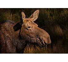 Moose portrait Photographic Print