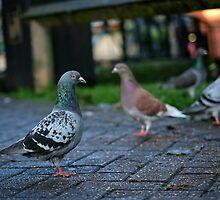 Pigeon Parade by Tobias King