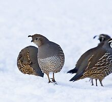 Quail in Snow by Tom Talbott