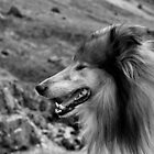 Rough Collie Portrait by Lou Wilson