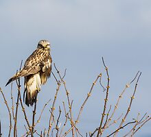 Ever Vigilant -- Rough-legged Hawk by Tom Talbott