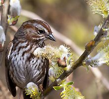 Song Sparrow in Willow by Tom Talbott