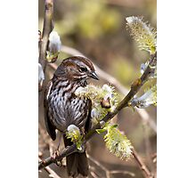 Song Sparrow in Willow Photographic Print