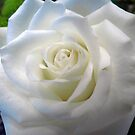 White Rose by Veronica Schultz