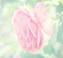 Pastel Pink Rose by afeimages