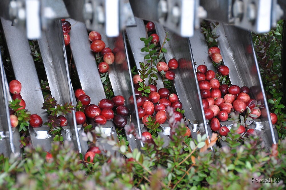 Cranberry Harvest #2 by Poete100