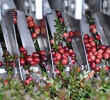 Cranberry Harvest #2 by Poete100
