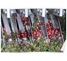 Cranberry Harvest #2 Poster