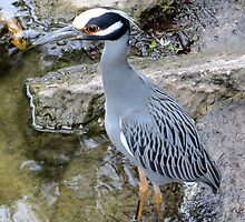 Yellow Crowned Night Heron by AuntDot