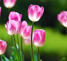 Backlit Tulips by Stephanie Jensen