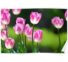 Backlit Tulips Poster