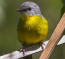 Eastern Yellow Robin by Doug Cliff