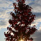 American Sweetgum in Autumn sun by ravenartistry