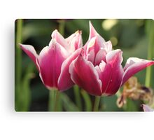 White & Pink Tulips Canvas Print