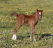 """""""Bronte"""" Welsh Mountain Pony Foal by cazzgroves"""