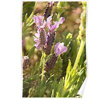 Mauve Lavender Poster