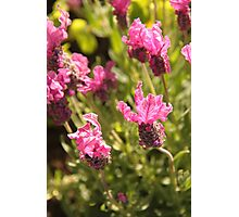 Pink Lavender Photographic Print