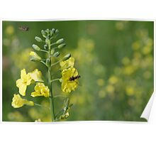 Hoverflies and broccoli flowers Poster