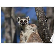 I'm A Ring Tailed Lemur Poster