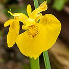 Yellow Bog Iris by DPalmer