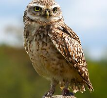 Burrowing owl  by saramessenger