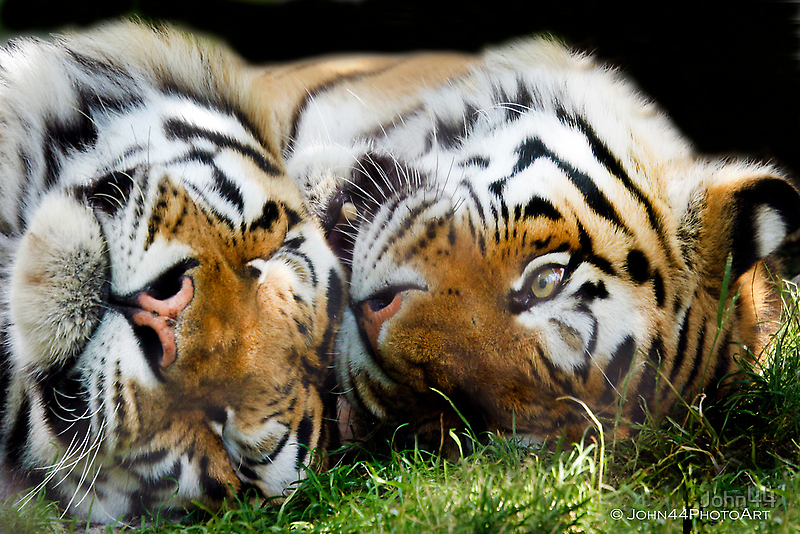 ...a Tiger nap... [FEATURED] by John44