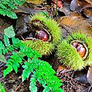 Chestnuts in husk by 7horses