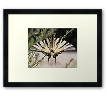 Scarce Swallowtail Framed Print