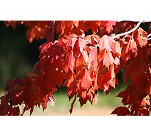 RED LEAVES OF OCTOBER Photographic Print