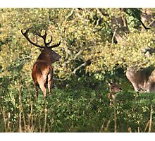 Deer Rut - Stag Photographic Print
