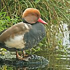 Red Crested Pochard by Alan Forder