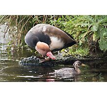 Red Crested Pochard Seeing Off Dabchick Photographic Print