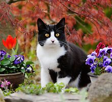 Tuxedo cat in front of a Japanese Maple by Katho Menden
